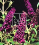 Budleja Dawida 'Black Knight' FIOLETOWA - Buddleja davidii 'Black Knight'