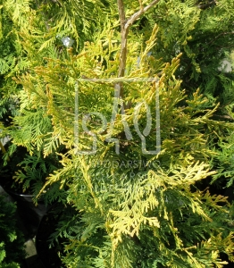 Żywotnik zachodni 'Yellow Ribbon' - Thuja occidentalis 'Yellow Ribbon'
